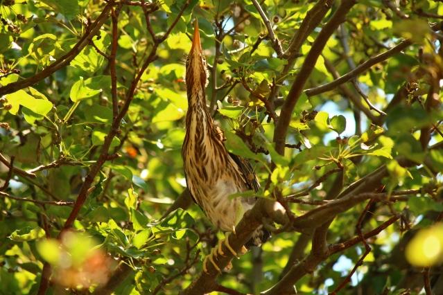 Immature Green Heron. Image Credit: Animal Perspectives.
