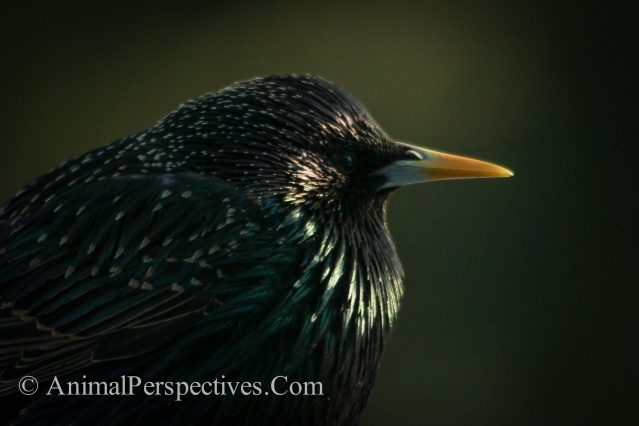 European Starling Vulgaris