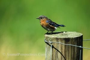 Eastern Bluebird. Image Credit: Animal Perspectives.
