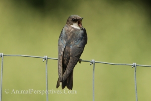 Female Tree Swallow. Image Credit: Animal Perspectives.
