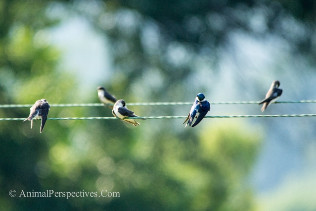 Tree Swallows Roosting. Image Credit: Animal Perspectives.
