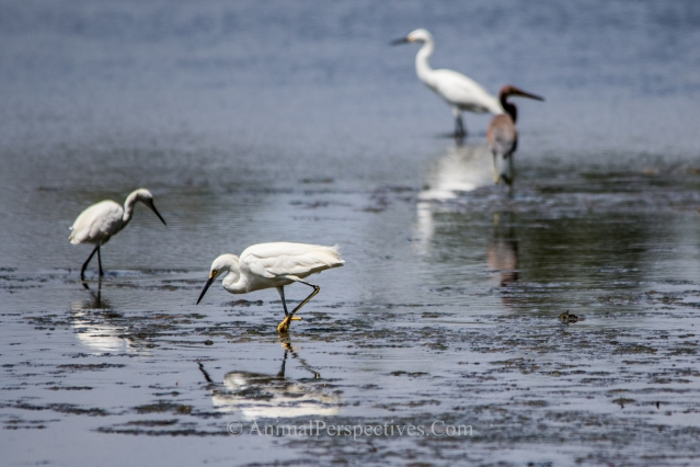 Image: AnimalPerspectives.com Tricolor Heron, Snowy Egret