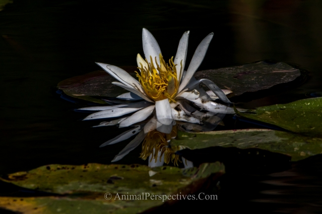 Water Lily. Image Credit: Animal Perspectives.