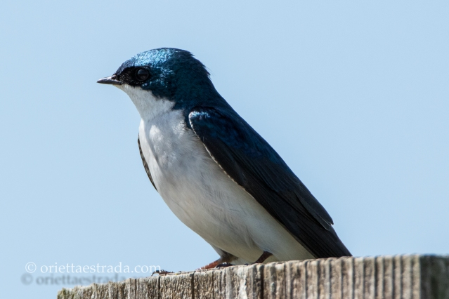 Tree Swallow. Image Credit: Animal Perspectives.