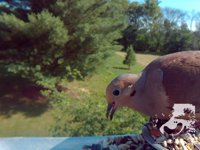 Mourning Dove. Image Credit: Animal Perspectives.